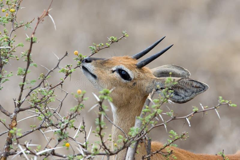 Het mannetje van Steenbok stock fotografie