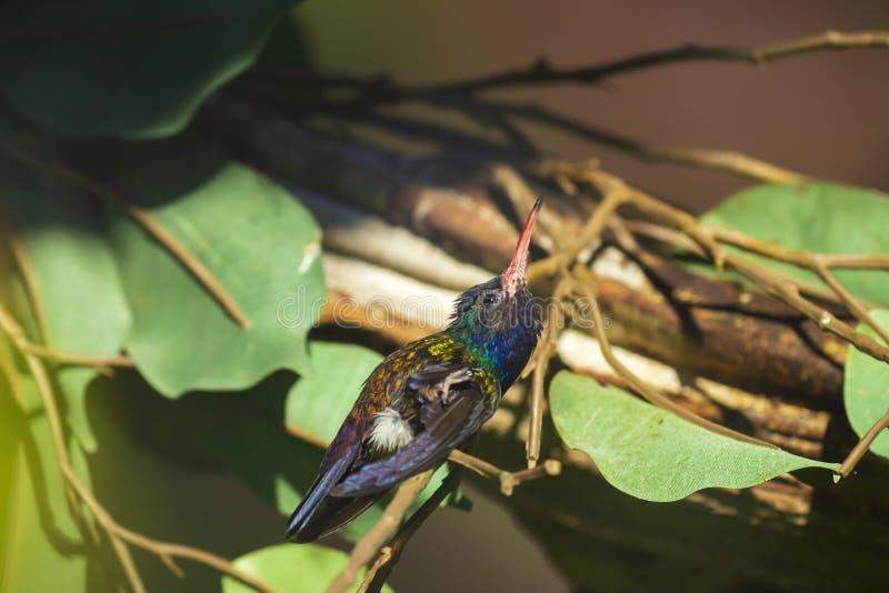 Het mannetje wit-chinned cyanus van saffierhylocharis, kolibrie op een tak wordt neergestreken die stock afbeeldingen