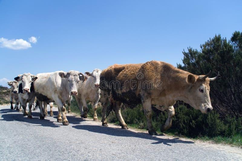 Het marcheren van koeien stock fotografie