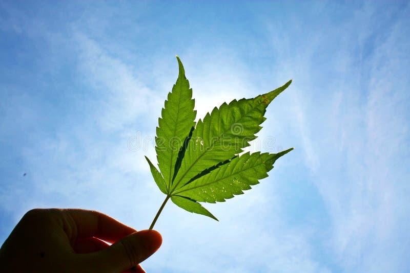 Het marihuanablad in mens dient zonnige dag in stock afbeelding