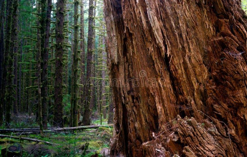 Het massieve Oude Regenwoud van de Groei Rode Cedar Tree Split Apart Wooded royalty-vrije stock afbeelding