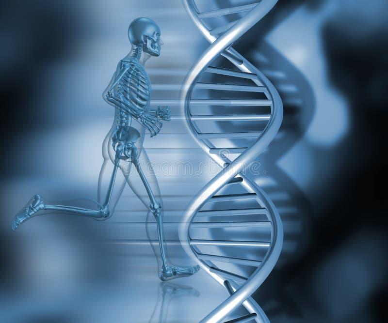 Het medische skelet in het lopen stelt royalty-vrije illustratie