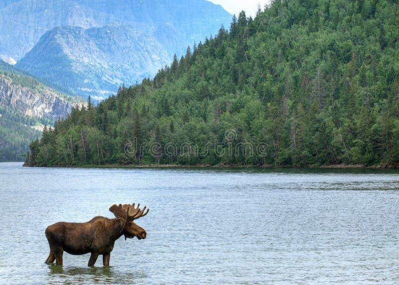 Het meer en de Amerikaanse elanden van Waterton royalty-vrije stock afbeeldingen