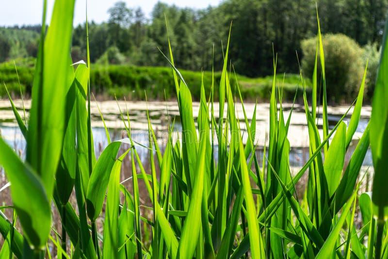 Het meer en de meest forrest mening door de omheining van heldergroen riet stammen en doorbladeren, vooraanzicht stock foto