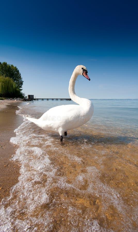 Het meer van de zwaan stock afbeelding