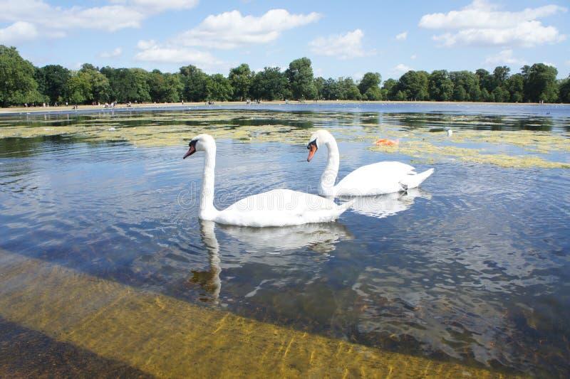 Het meer van de zwaan royalty-vrije stock afbeeldingen