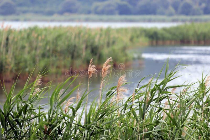 Het meer van rietstruiken stock fotografie