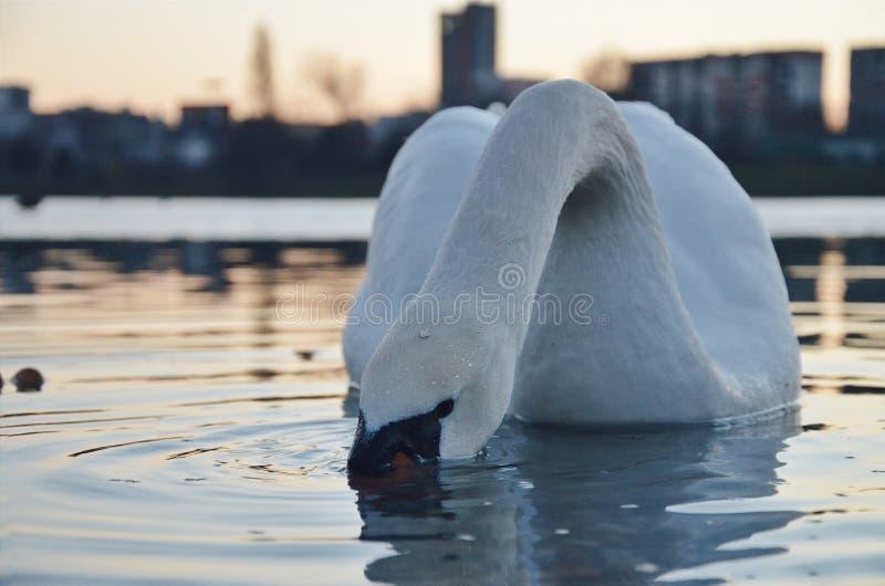 Het meer van Strkovec van de zwaanwinter stock foto