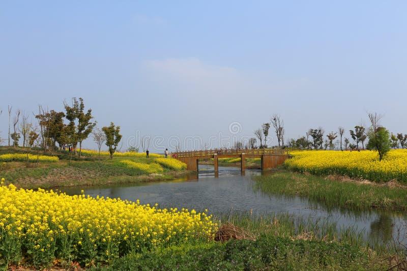Het Meerlandschap van Suzhouyangcheng, gele canolabloem, stock fotografie
