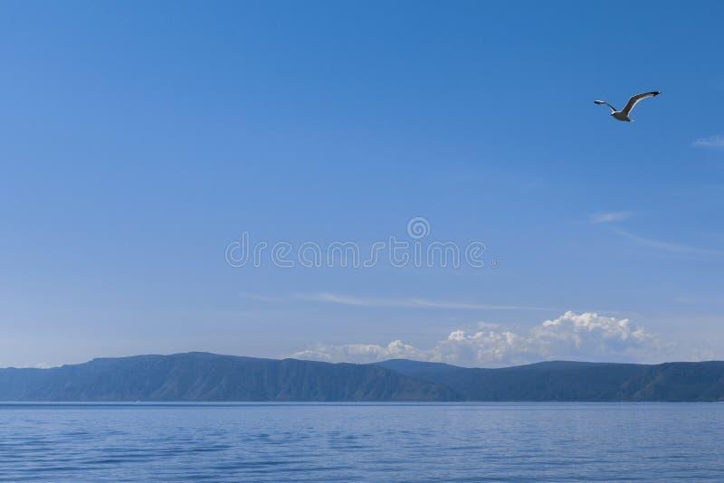Het Meerzeemeeuw die van Baikal Rusland vliegen stock fotografie