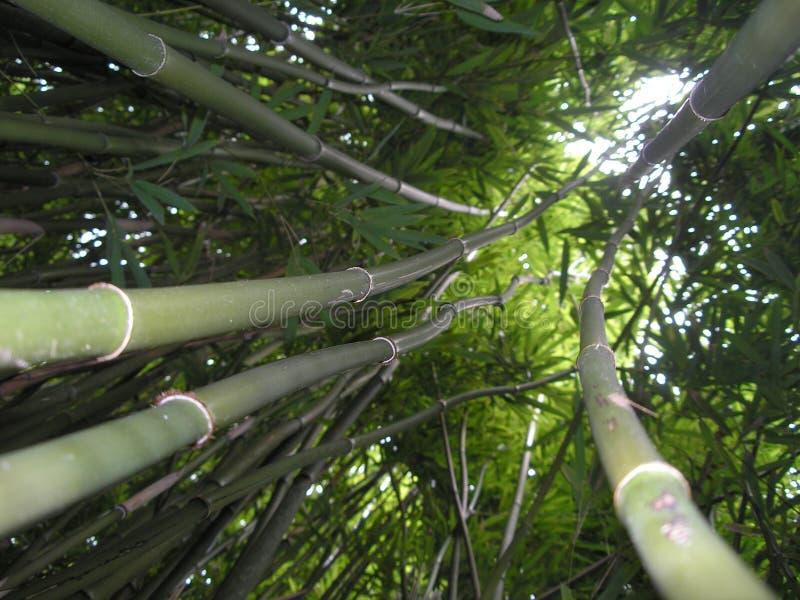 Het meest forrest bamboe stock fotografie
