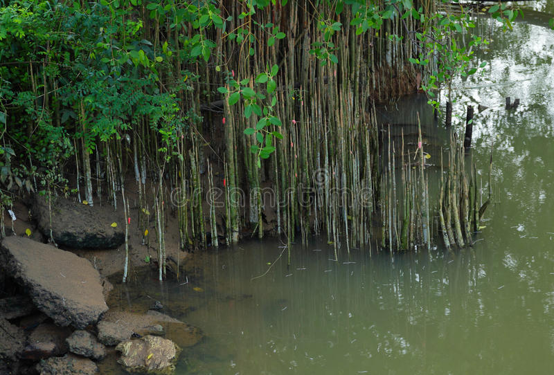 Het meest reforest mangrove stock afbeeldingen