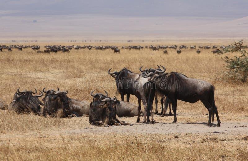 Het meest wildebeest krater royalty-vrije stock afbeelding