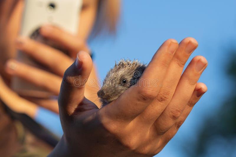 Het meisje neemt een beeld van een kleine egel op een mobiele telefoon op a stock fotografie