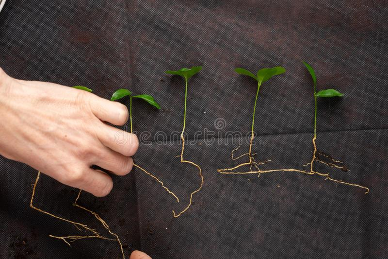 Het meisje plant zaailingen in plastic potten Groeiende zaailingen royalty-vrije stock fotografie