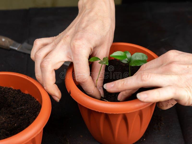 Het meisje plant zaailingen in plastic potten Groeiende zaailingen stock fotografie