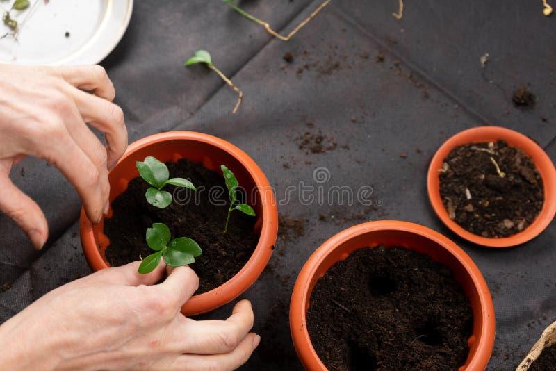 Het meisje plant zaailingen in plastic potten Groeiende zaailingen stock afbeeldingen