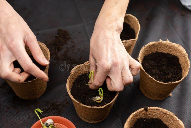 Het meisje plant zaailingen in turfpotten Groeiende zaailingen stock afbeeldingen