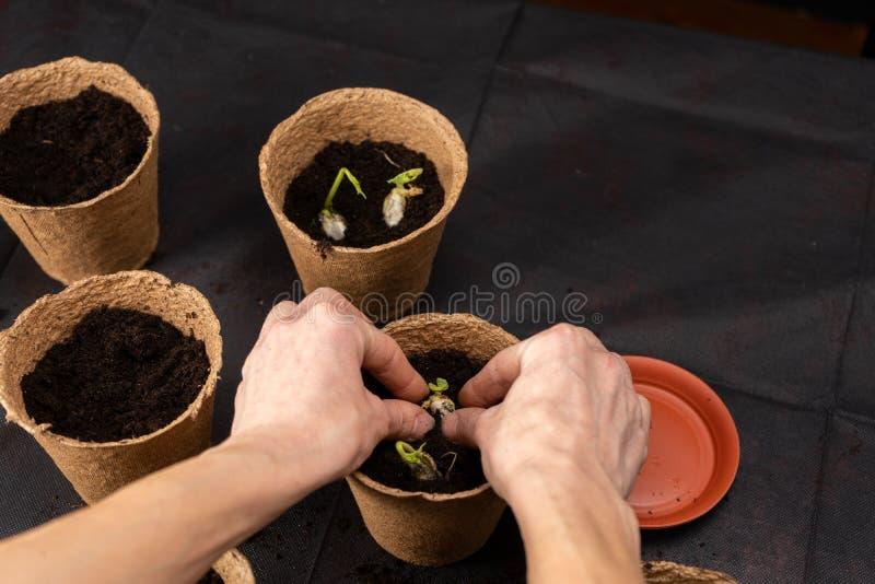 Het meisje plant zaailingen in turfpotten Groeiende zaailingen stock afbeelding