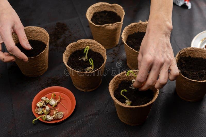 Het meisje plant zaailingen in turfpotten Groeiende zaailingen royalty-vrije stock foto's