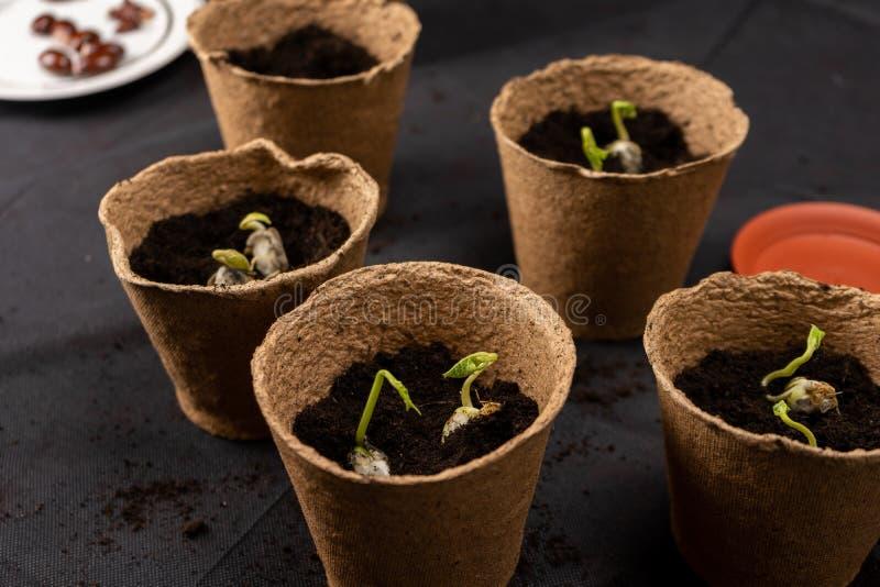 Het meisje plant zaailingen in turfpotten Groeiende zaailingen stock foto