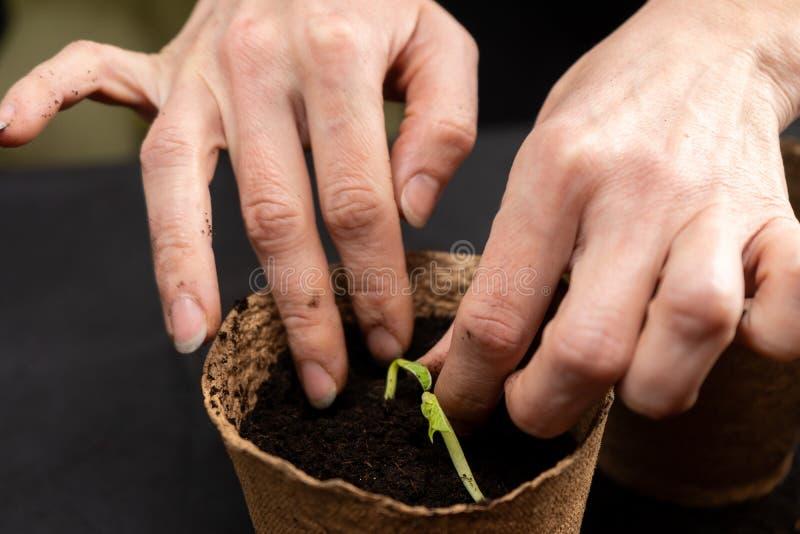 Het meisje plant zaailingen in turfpotten Groeiende zaailingen royalty-vrije stock afbeelding