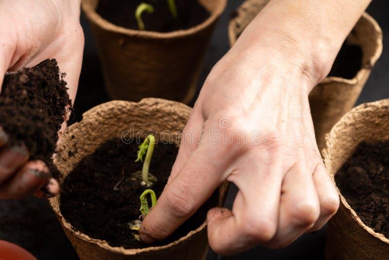 Het meisje plant zaailingen in turfpotten Groeiende zaailingen royalty-vrije stock foto