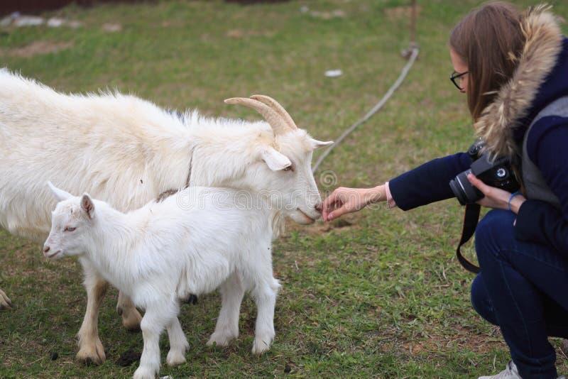 Het meisje voedt een geit bij de werf stock afbeeldingen