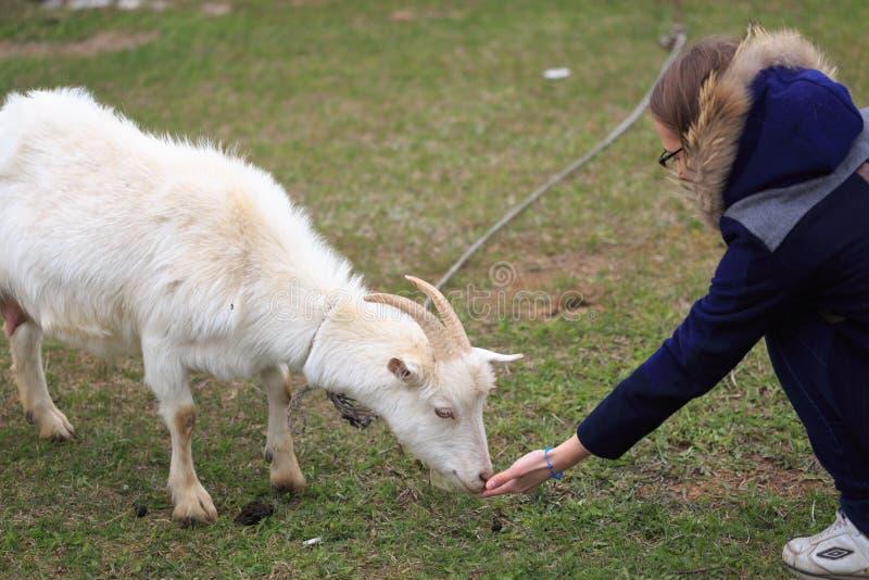 Het meisje voedt een geit bij de werf royalty-vrije stock foto