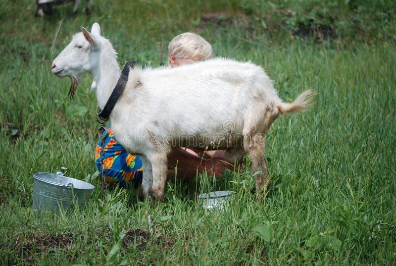 Het melken van de geit royalty-vrije stock afbeelding