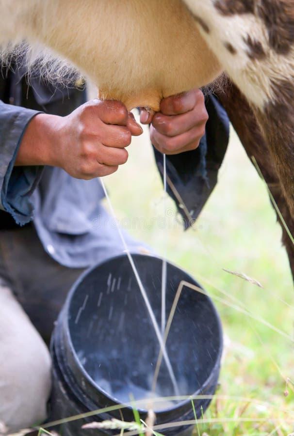 Het melken van de Koe stock afbeeldingen