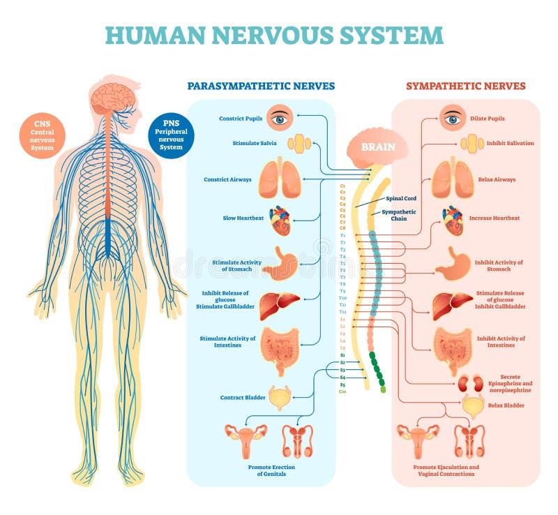 Het menselijke diagram van de zenuwstelsel medische vectorillustratie met parasympathetic en sympathieke zenuwen en verbonden bin stock illustratie