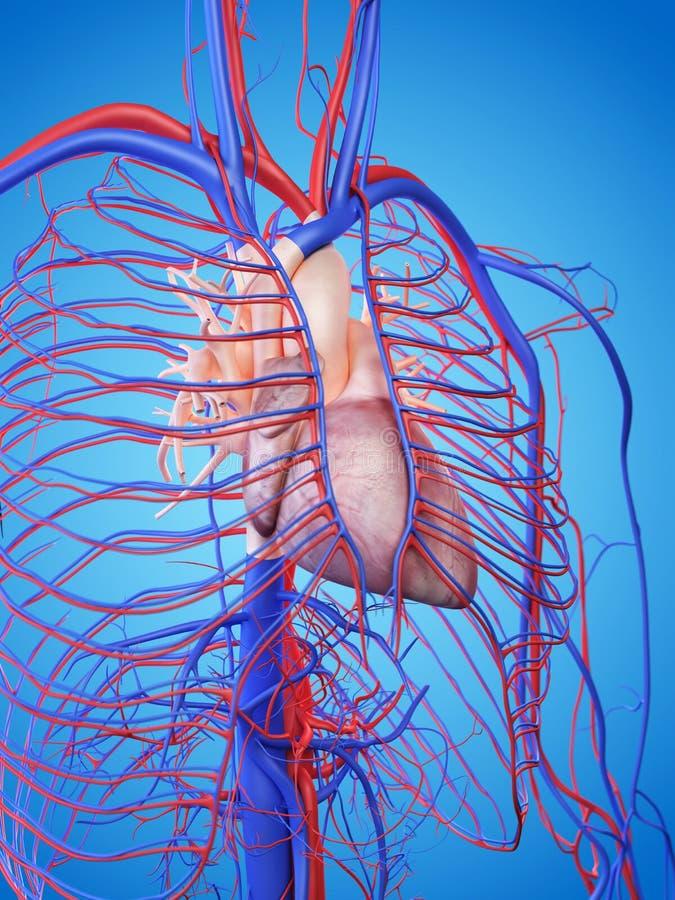 Het menselijke hart royalty-vrije illustratie