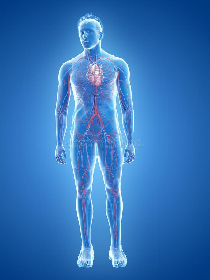Het menselijke hart en het vasculaire systeem vector illustratie