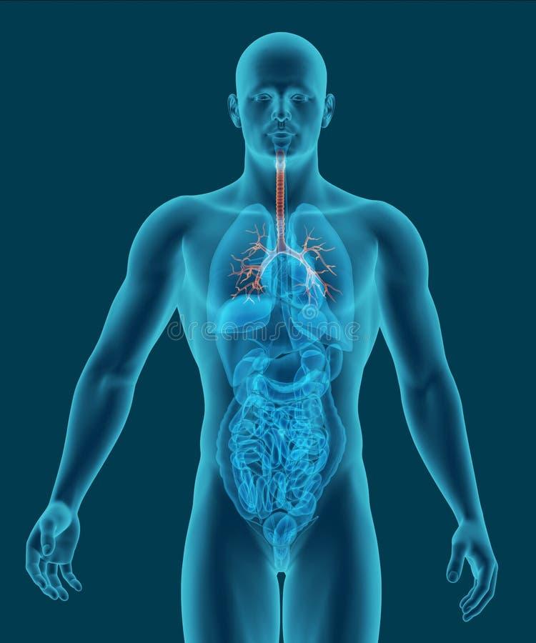 Het menselijke lichaam met zichtbare trachee en 3d de bronchiën geven terug royalty-vrije illustratie