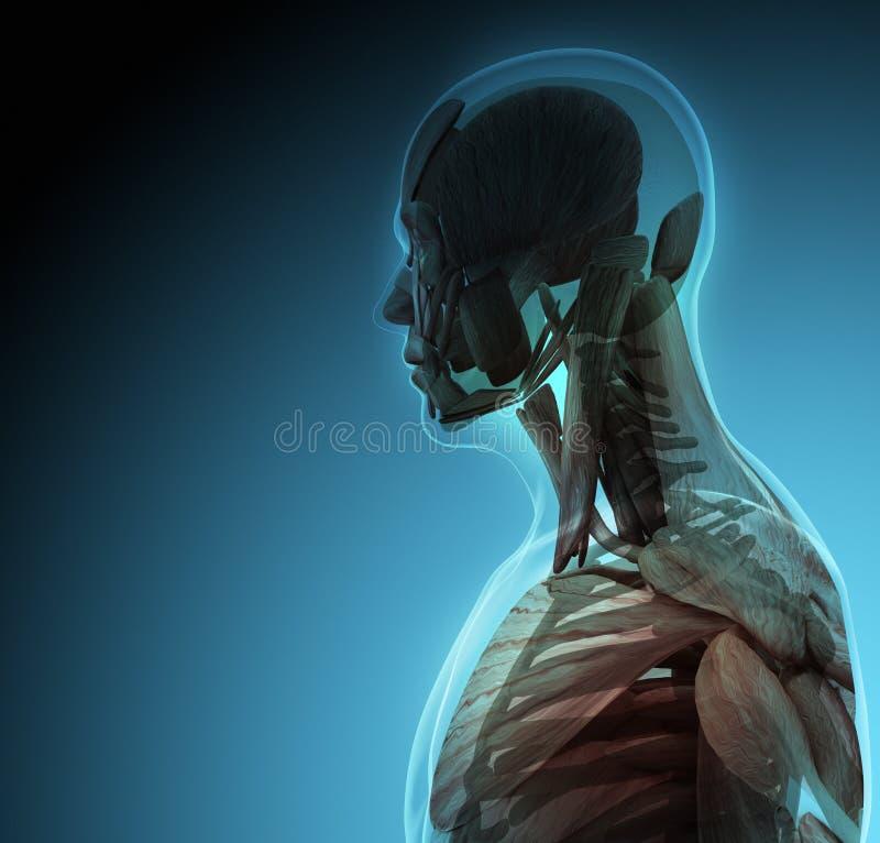 Het menselijke lichaam (organen) door Röntgenstralen op blauwe achtergrond vector illustratie