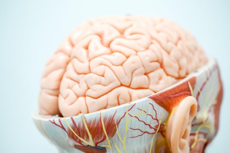 Het menselijke model van de hersenenanatomie voor onderwijs royalty-vrije stock foto