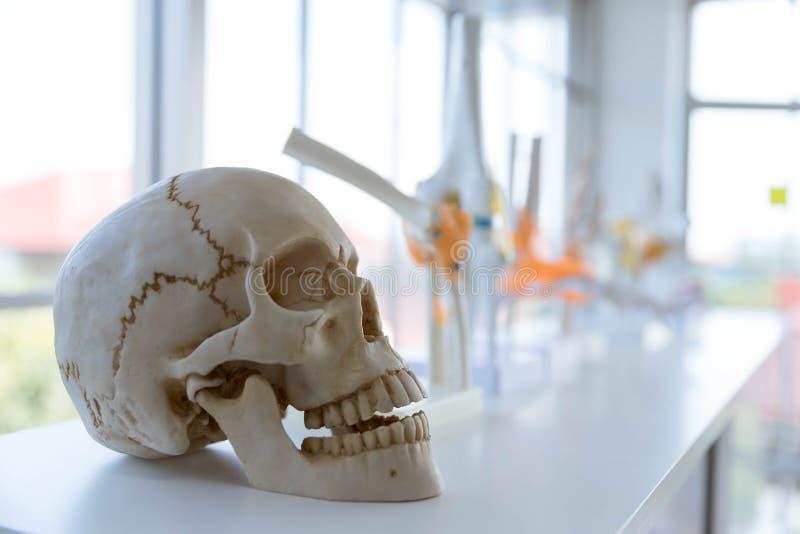 Het menselijke schedelmodel op witte lijst in laborator met ruimte stock foto