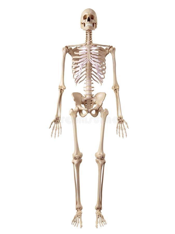 Het menselijke Skelet vector illustratie