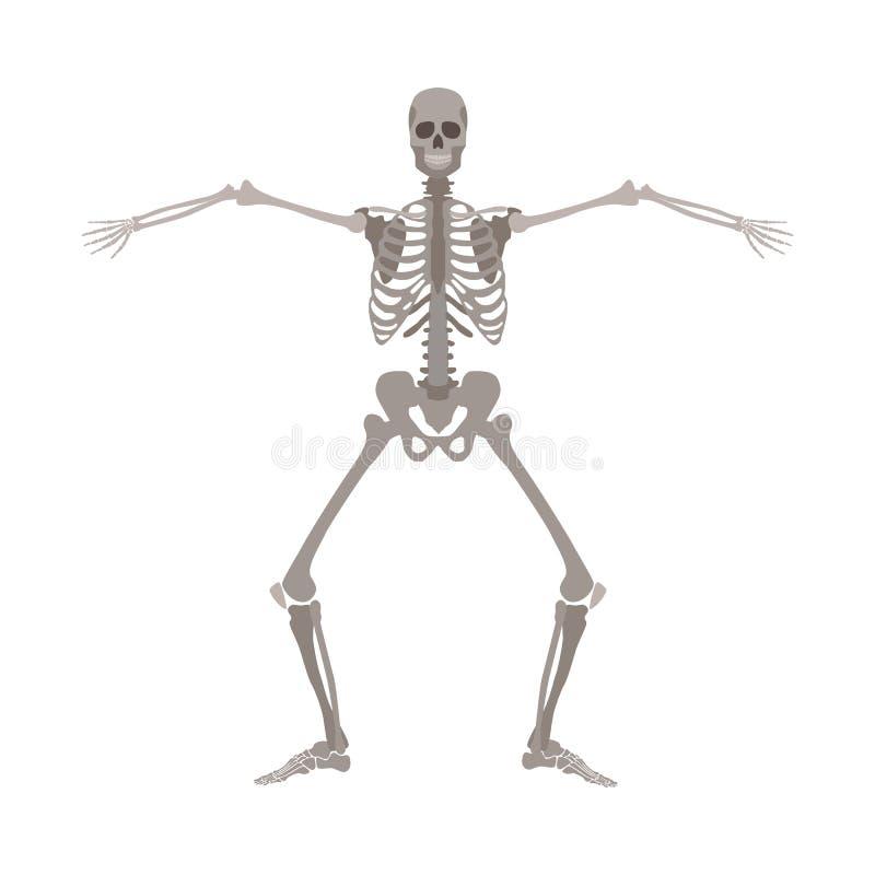 Het menselijke skelet die zich met benen bevinden boog en bewapent apart brede beeldverhaal vlakke stijl vector illustratie