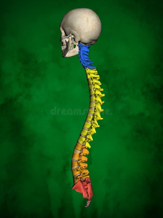 Het menselijke skelet m-sk-STELT BB-56-20, Ruggegraat, 3D Model stock illustratie