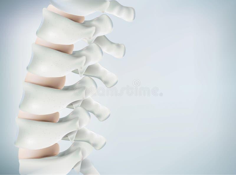 Het menselijke stekelbeeld is realistisch Toont de medische nauwkeurigheid van menselijk skelet en het 3D teruggeven stock illustratie