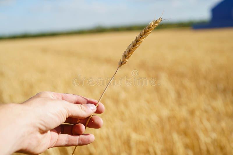Het menselijke stro van de de holdingstarwe van de handaanraking op heldere de oogst zonnige dag van de gebiedszomer stock afbeeldingen