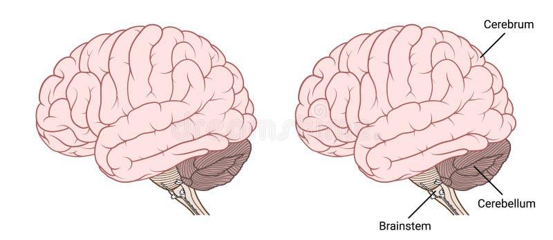 Het menselijke vlakke zijaanzicht van de hersenenanatomie vector illustratie