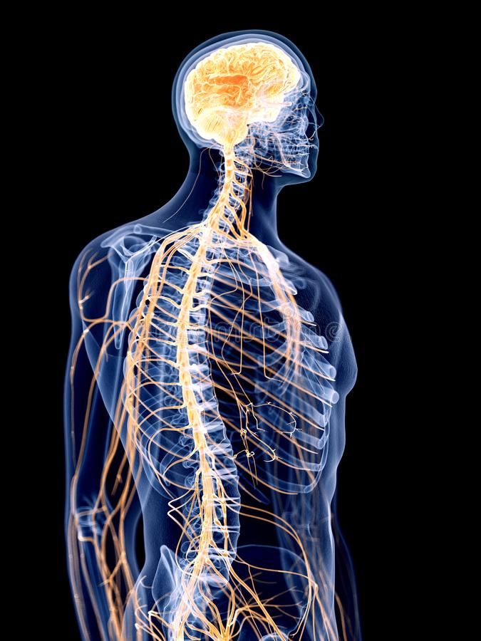 Het menselijke zenuwstelsel royalty-vrije illustratie