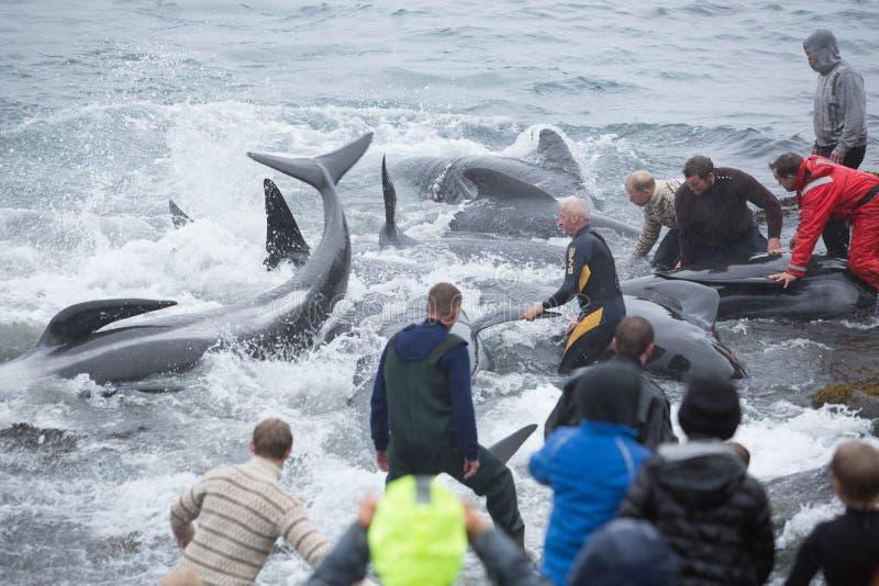 Het merken van Proefwalvissen in de Faeröer stock foto's
