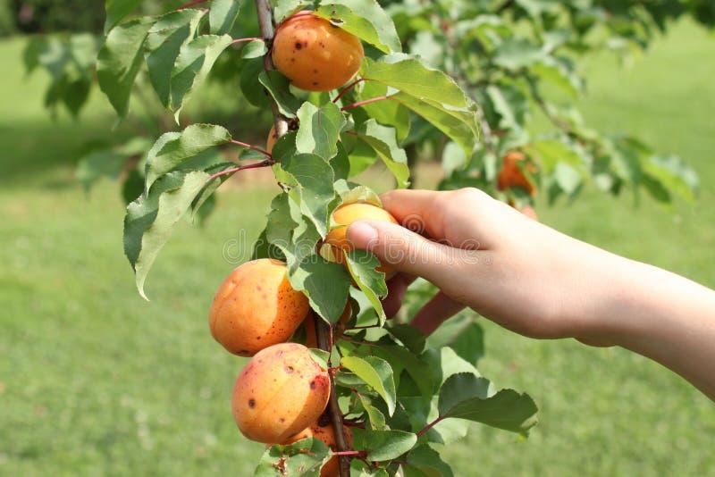 Het met de hand plukken van abrikozen van een tak van abrikozenboom stock fotografie