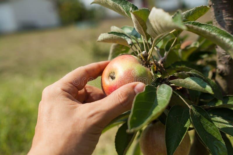 Het met de hand plukken van appelen van de tak van de appelboom royalty-vrije stock afbeeldingen