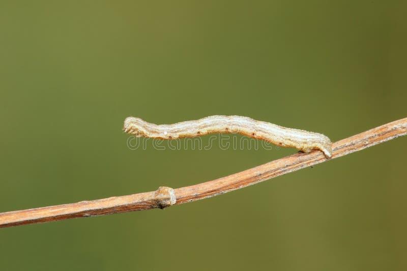 Het meten van worm stock foto's