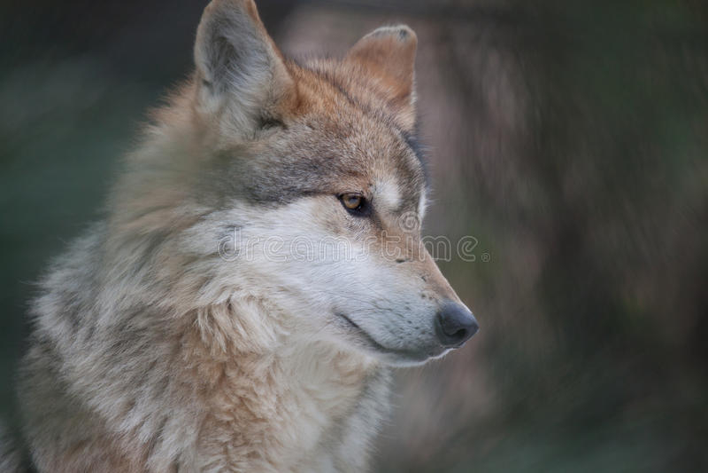 Het Mexicaanse Portret van de Wolf royalty-vrije stock afbeeldingen
